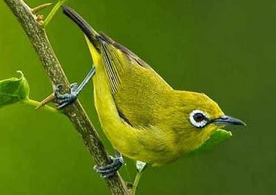 Kumpulan Semua Jenis Burung Pleci Paling Lengkap Dengan Gambarnya