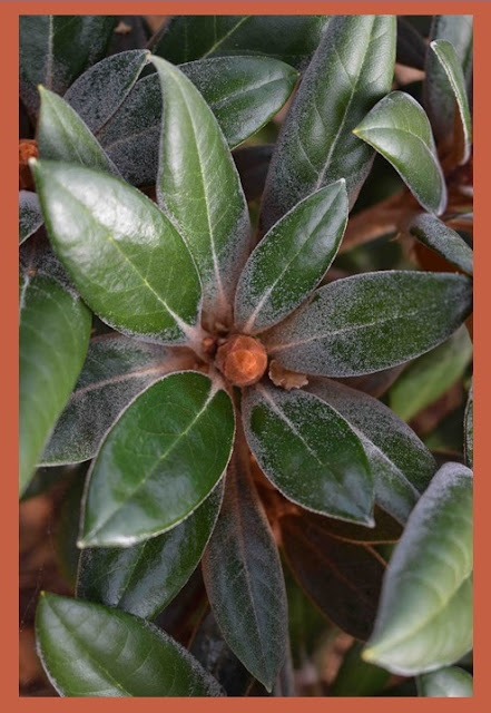 Rhododendron Yakushimanum - Gruppen 'Hydon Velvet'