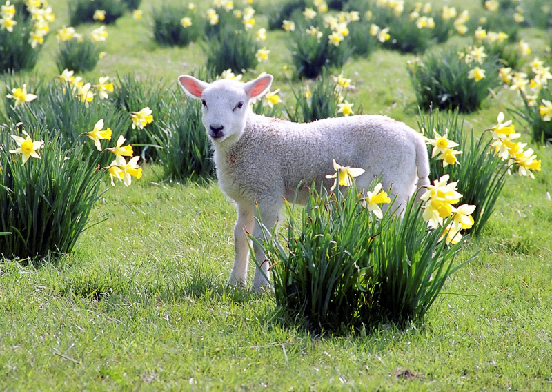 Why are Baby Farm Animals Typically Born in the Spring ...  |Baby Lambs In Spring