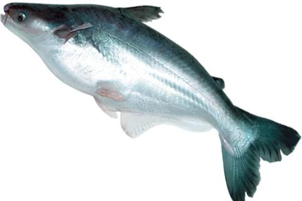 Ironis Ternyata Ikan Dori yang selama ini kita makan itu ...