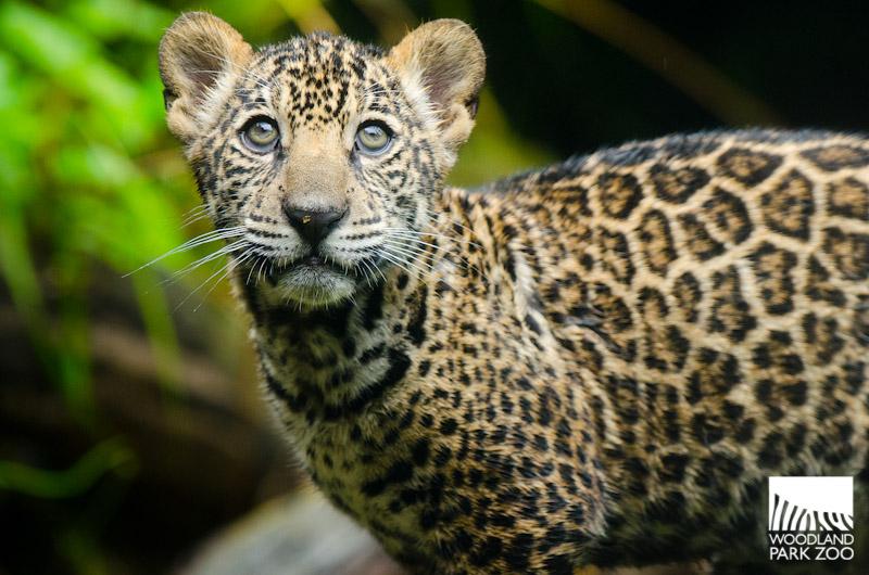 jaguars animals cubs - photo #12