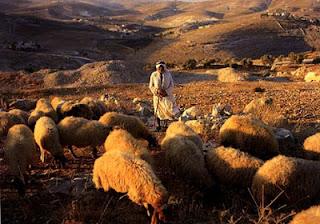 Resultado de imagem para arabian shepherd sheep