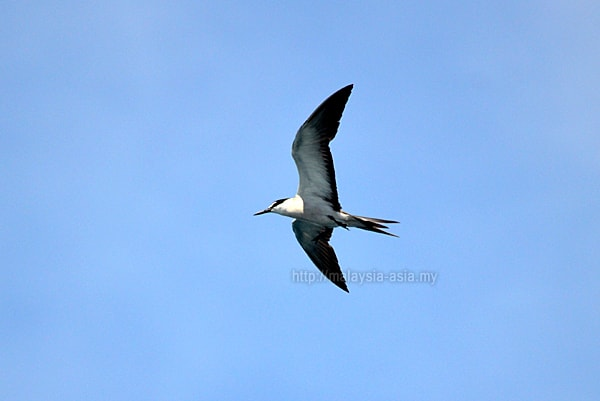 Raja Ampat Grey-backed Tern