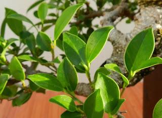 osmosis para los bonsais