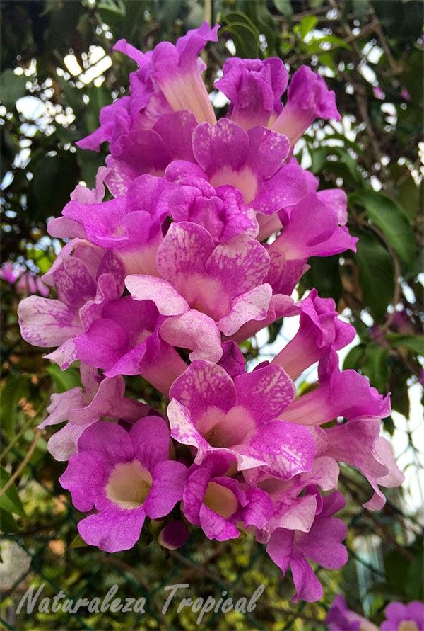 Flores del Ajo Sacha, Mansoa alliacea