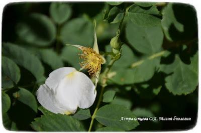 цветущий шиповник, цветок розоцветное, ноль