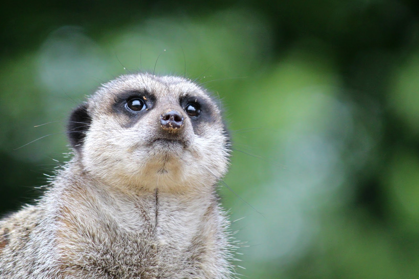 Isle Of Man Photo Diary meerkat wildlife park photography