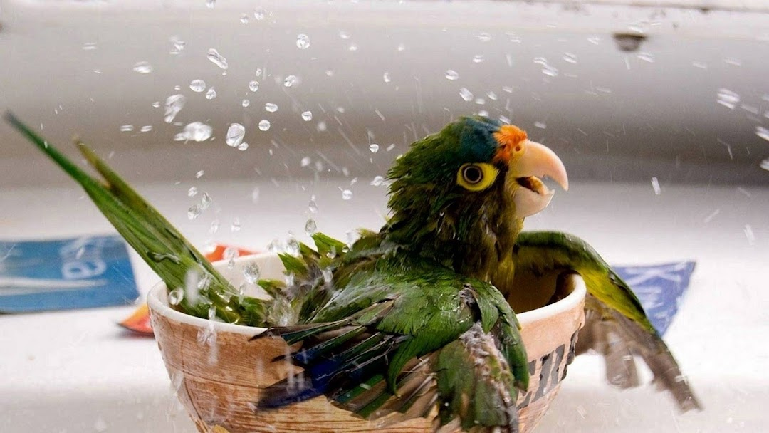Parrot Bath HD Wallpaper
