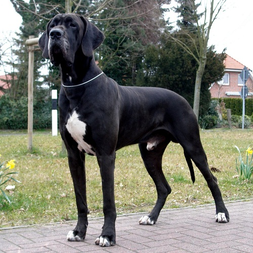 Cute Dogs Pets Black Great Dane Pictures
