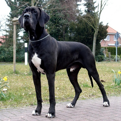 Cute Dogs|Pets: Black Great Dane Pictures
