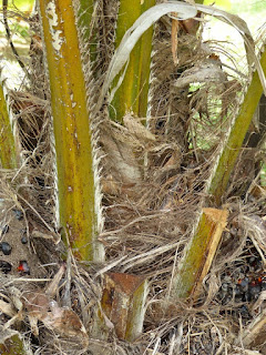 Elaeis guineensis - Palmier à huile
