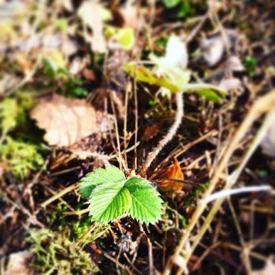 metsämansikka ahomansikka hoito kasvatus verso