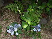 長尾の寺・正俊寺の紫陽花庭園 紫陽花とシダ植物