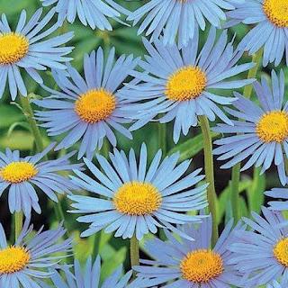 Gambar Bunga Aster yang Cantik 1
