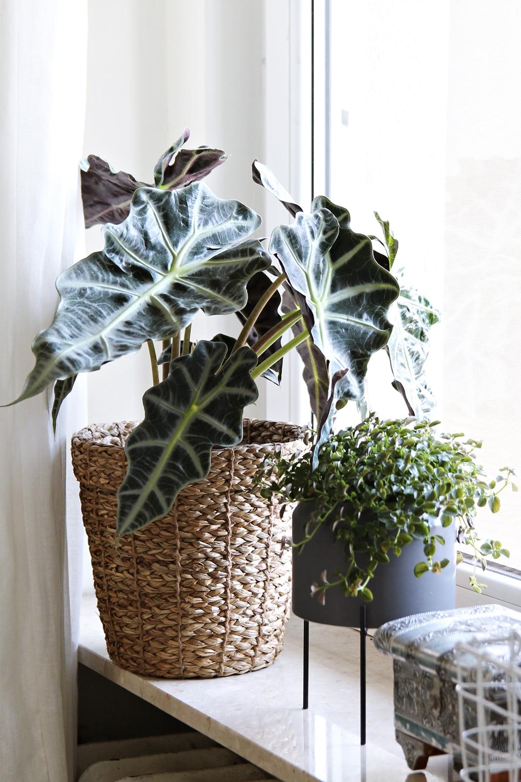 plant Alocasia