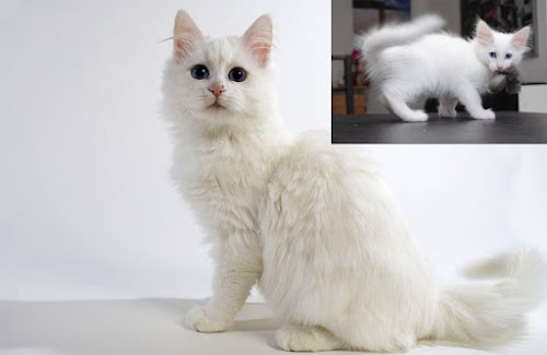 5c161a319f 3 Ways to Identify a Turkish Angora Cat Kitten