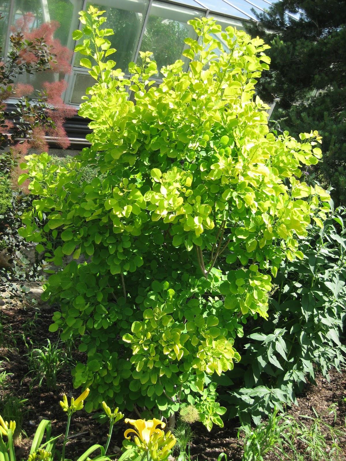 Golden Spirit Smokebush Rotary Botanical Gardens