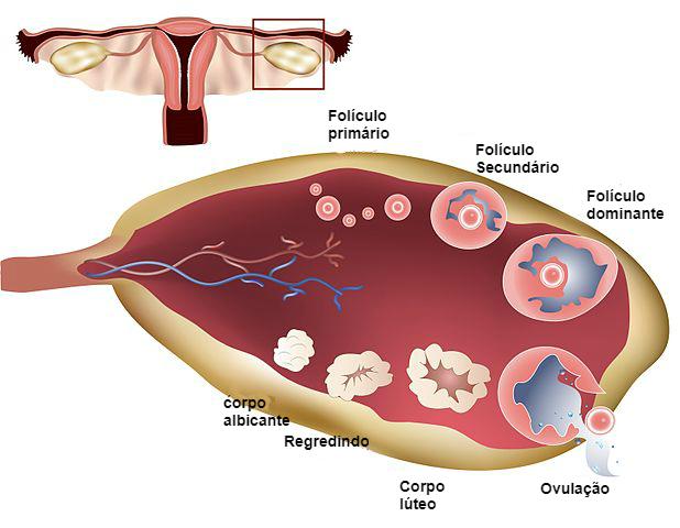 estágios do folículo ovariano