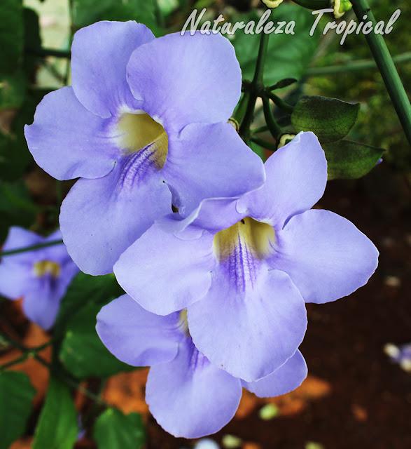 Flores de la bella trepadora conocida como Trompeta Azul, Thunbergia grandiflora