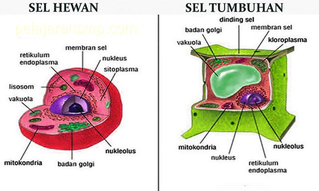 Materi Organisasi Kehidupan, Fungsi Sel, Sistem Organ Makhluk Hidup, Jaringan Manusia, Hewan, dan Tumbuhan IPA SMP