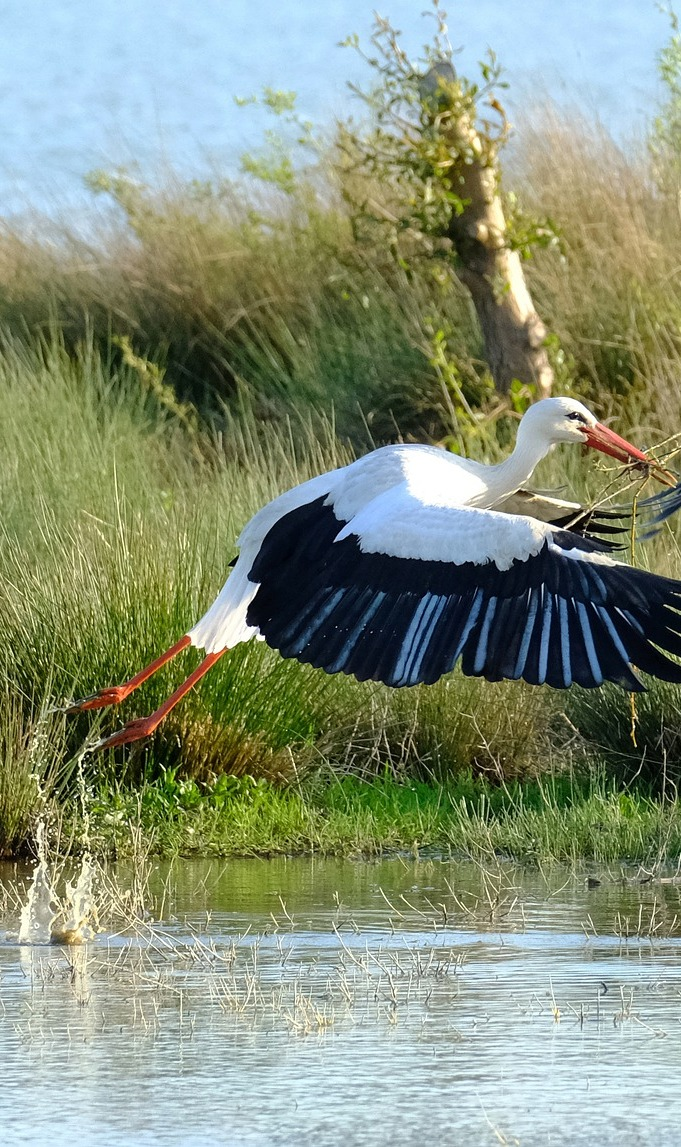 A stork takes off.
