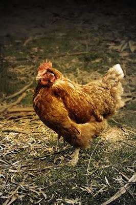Cara dan Langkah langkah Beternak Ayam Petelur Untuk Usaha