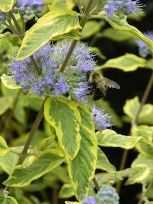 Caryopteris x clandonensis 'Summer Sorbet' fall blooms at the Toronto Botanical Garden by garden muses-not another Toronto gardening blog