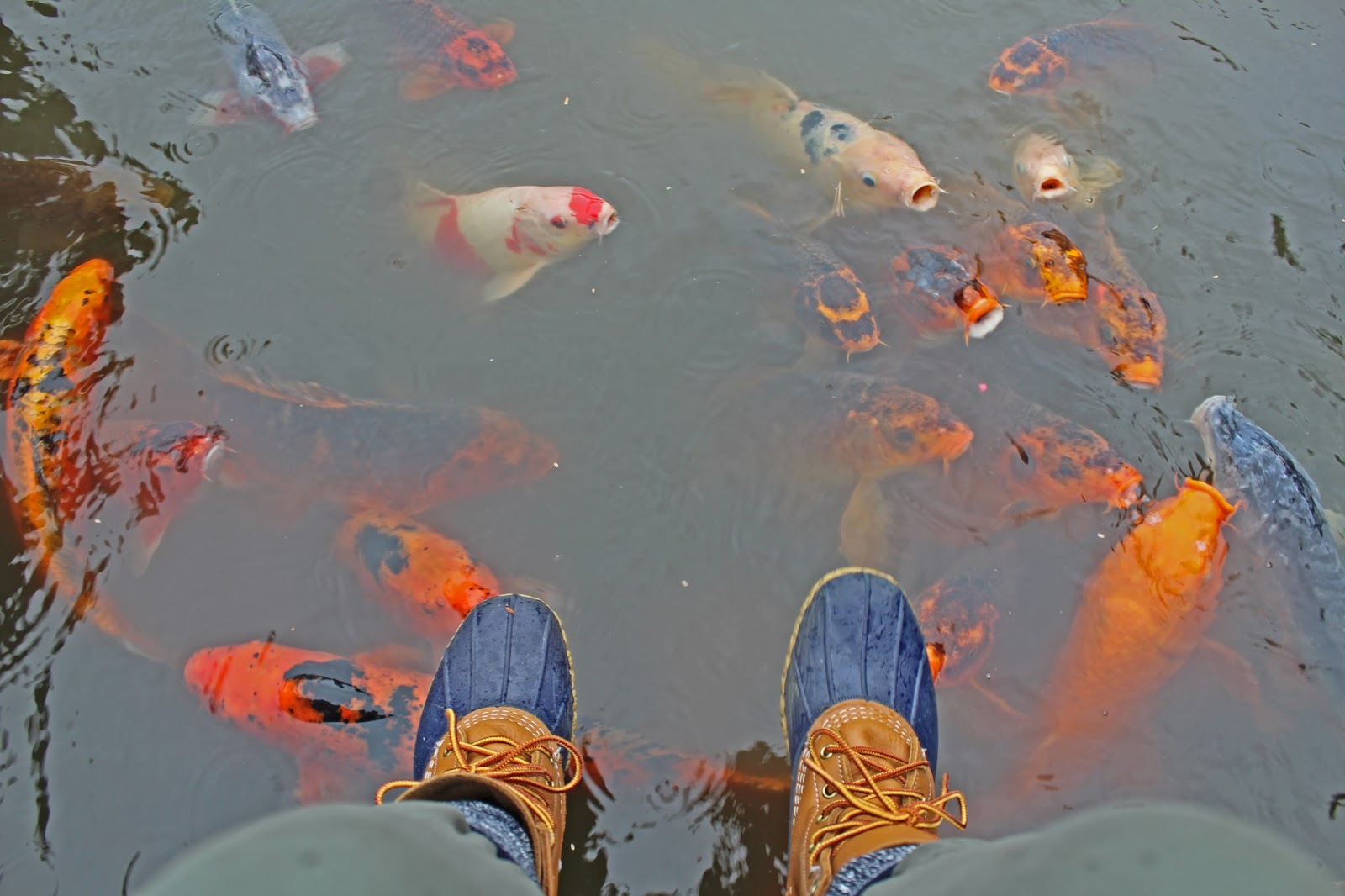 bean boots koi fish
