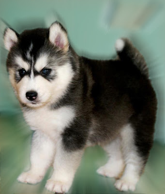 pomeranian husky price lec pets world 6587