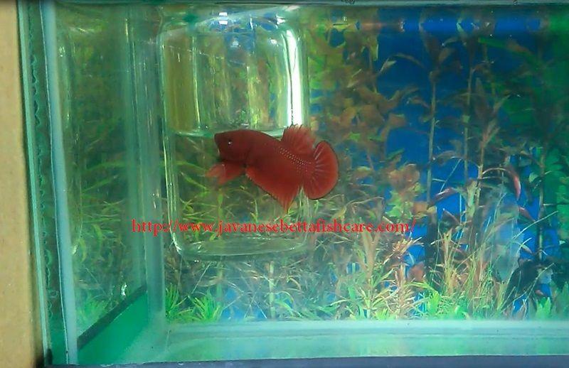 Image Plakat Betta - Betta fish types