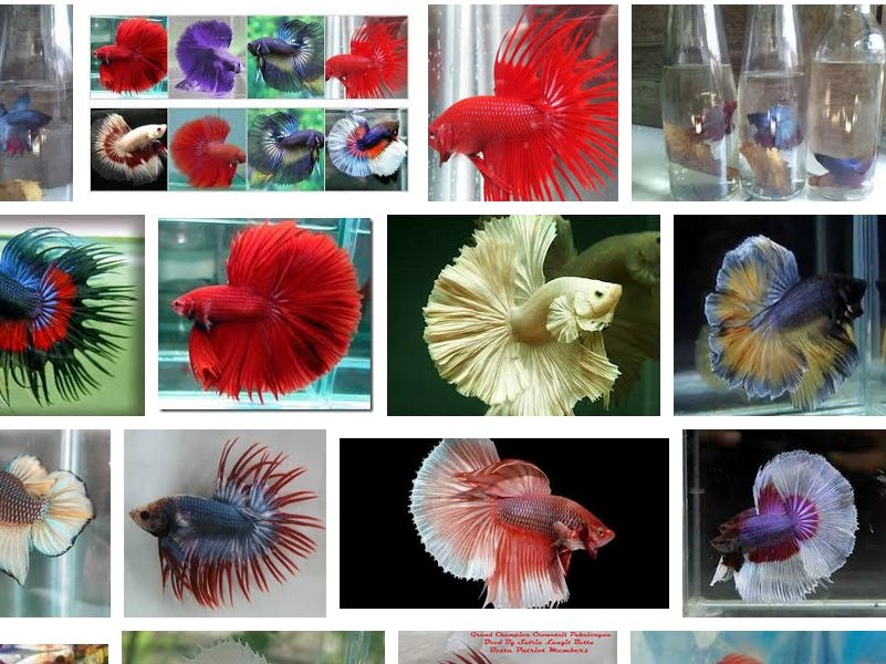 Cara Merawat Ekor Ikan Cupang Agar Kembali Cantik