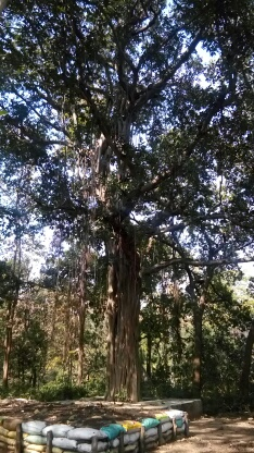 राष्ट्रीय वृक्ष बरगद
