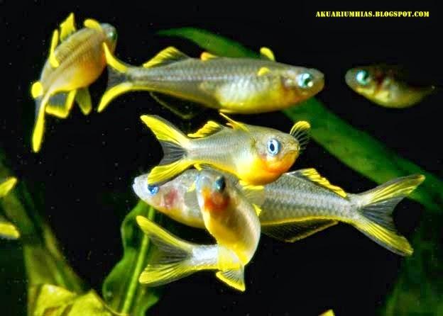 Forktail Rainbowfish