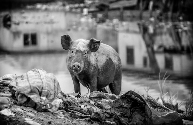 Pig by Okeoghene Onogbo on 500px