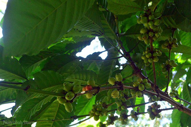 Pohon kopi liar di sekitaran rumah