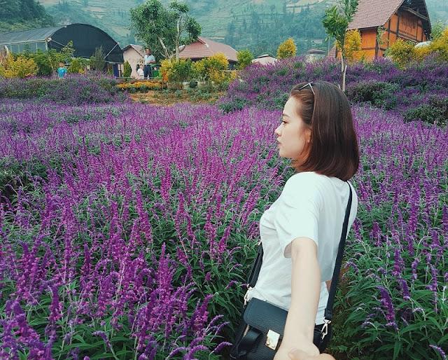 Lavender harvest season in Lao Cai 3