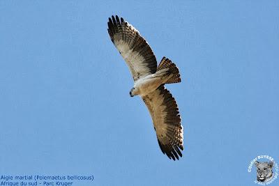 Águila marcial Polemaetus bellicosus