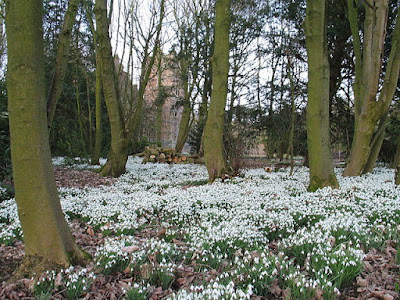 drift of flowering snowdrops in woodland