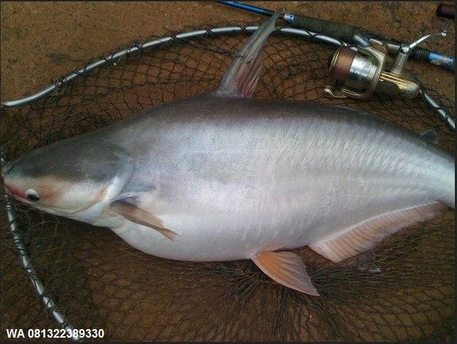 Umpan Pelet Serbuk Ikan Patin Di Segala Cuaca - Toko Umpan