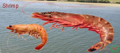 shrimp fish, চিংড়ি; বাগদা চিংড়ি