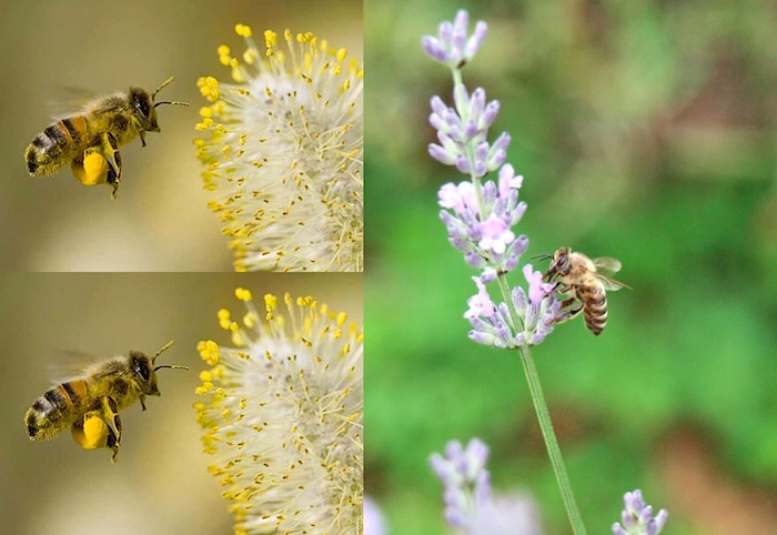 honey bee flying with yellow pollen sac and honey bee sucking up flower nectar
