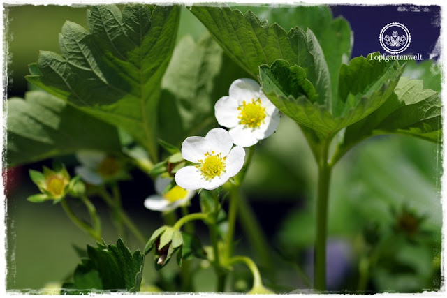 Gartenblog Topfgartenwelt Mein Frühlingsgarten: blühende Erdbeeren