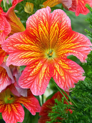 """Royale Red"" Salpiglossis sinuata (Painted Tongue, Scalloped Tube Tongue or Velvet Trumpet Flower) at Toronto's Allan Gardens Conservatory Spring Flower Show."