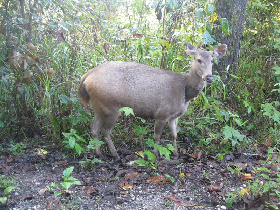 A deer in Phukhieo Wildlife Sanctuary