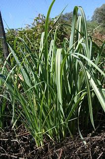 perennial leek plants