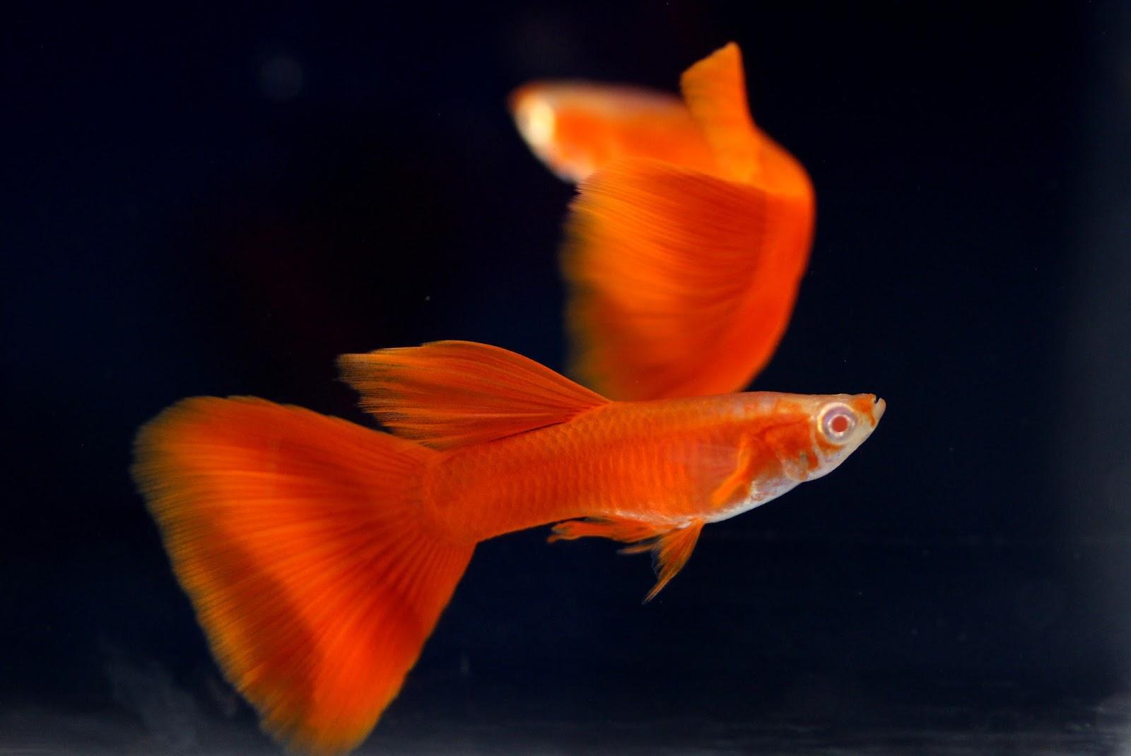 Guppy Albino Full Red Murah Sale Guppy Fish Indonesia