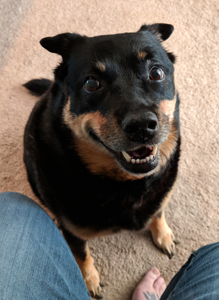 image of Zelda the Black and Tan Mutt sitting at my feet looking up at me with an expectant look and a big grin