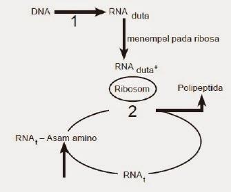 Biologi gonzaga mature prediksi soal ujian nasional biologi 2015 ccuart Image collections