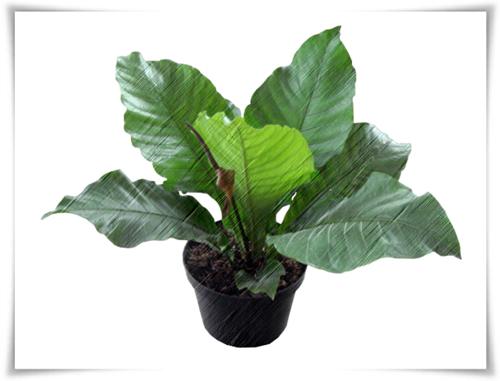 Jenis  Bunga Anthurium Paling Populer Jenis  Bunga Anthurium Paling Populer