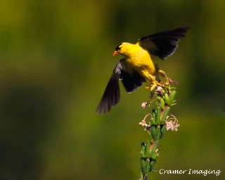 Cramer Imaging's professional quality nature animal photograph of yellow goldfinch bird taking off to fly in Pocatello, Bannock, Idaho in 8x10 format